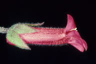 Gambelia speciosa