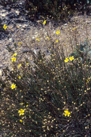 Crocanthemum suffrutescens