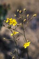 Helianthemum suffrutescens