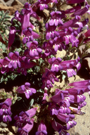 Penstemon purpusii