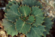 Streptanthus brachiatus