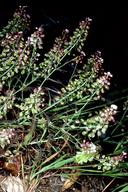 Thysanocarpus conchuliferus