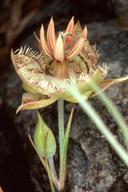 Calochortus tiburonensis