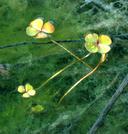Marsilea oligospora