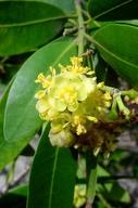 Umbellularia californica