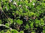 Arctostaphylos montana ssp. ravenii