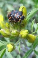 Murgantia histrionica