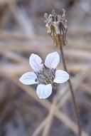 Jepsonia parryi