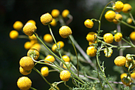 Oncosiphon piluliferum