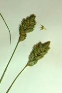 Carex specifica
