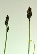 Carex tahoensis