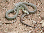 Coluber constrictor