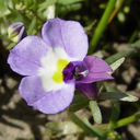 Downingia bicornuta var. bicornuta