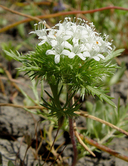 Navarretia leucocephala ssp. leucocephala