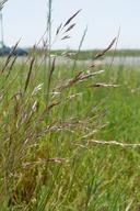 Deschampsia danthonioides