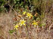 Bloomeria crocea