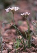 Allium macropetalum