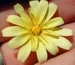 Malacothrix californica