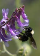 Bombus californicus