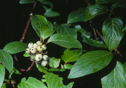 Cornus sericea