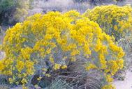 Ericameria nauseosa var. latisquamea