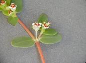 Chamaesyce polycarpa