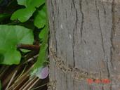 Anolis carolinensis