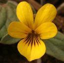 Viola purpurea ssp. integrifolia