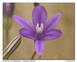Brodiaea appendiculata
