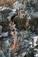 Dudleya cymosa ssp. setchellii
