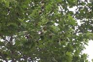 Platanus Xhispanica