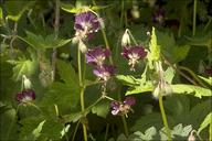 Geranium phaeum ssp. phaeum