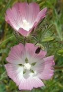 Sidalcea diploscypha