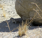 Palm Springs Round-tailed Ground Squirrel