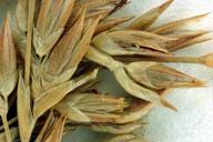 Juncus textilis