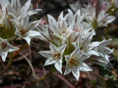 Allium lacunosum var. lacunosum