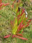Carpobrotus chilensis
