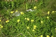 Oxalis pes-caprae