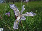 Iris tenuissima ssp. tenuissima