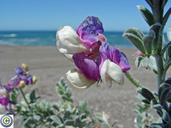 Lathyrus littoralis