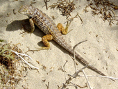 Baja California Spiny Lizard