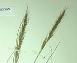 Achnatherum nelsonii
