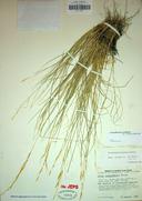 Stipa nevadensis