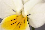 Viola tricolor ssp. tricolor