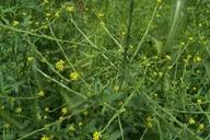 Все лекарственные травы для выращивания в саду на букву Г.