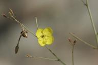 Camissonia walkeri