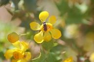 Berberis higginsiae