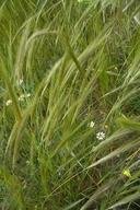 Stipa capensis