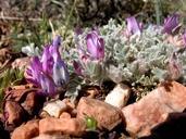 Astragalus purshii