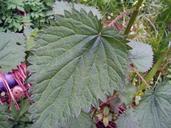 Urtica dioica ssp. dioica